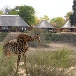 A giraffe munches in the riverbed in front of main camp