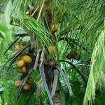 Coconut palm on the grounds of Tully Motel and Plantation Restaurant