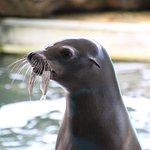 Sea lion pretends to be a Walrus!