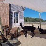 Foto de Island Alpaca Company of Martha's Vineyard