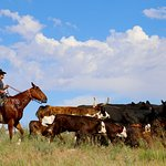 Cattle Drive with real cowboy