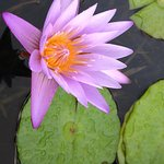 Lovely water lilies on the grounds near the cottage.