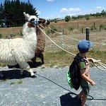 Llama walking!