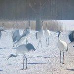 Photo of Tsurui Ito Red-crowned Crane Sanctuary