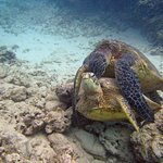 Sea turtles mating---they didn't seem to mind the audience---advantage of diving in small groups