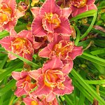 This is a Nationally recognized Daylily Display Garden.