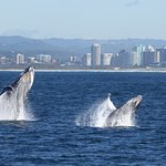 Whale watching off Tweed Heads