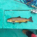 Typical 20 inch brown trout!!!