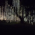 Live oaks draped in lights.