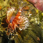 Lionfish on a night dive, Manado house reef