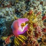 A nudibranch (sea slug) in Manado area
