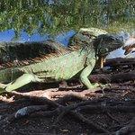 One huge iguana!