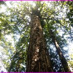 Tall Kauri trees thousands of years old. Amazing place and tour guide
