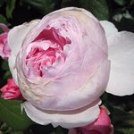 Southsea Rose Garden
