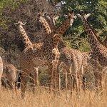 Giraffes on our bush walk