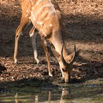 Bushbuck in camp