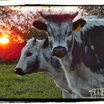 Sunset with some of our Randall Lineback heifers