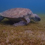 green turtle in the snorekling