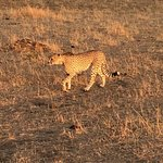 Cheetah early in the morning