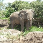Elephant on the bank on our transfer from Luangwa River Camp to Nsefu