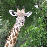 Walking up on a giraffe - we were about 30m away