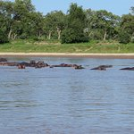 Lots of hippos in the Luangwa River