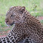 Very relaxed leopard
