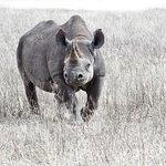 Black rhino in Ngorongoro Crater