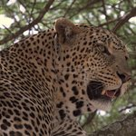 Leopard in tree in Serengeti