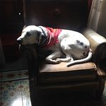 Durango, the owner's dalmatian relaxes in the library!