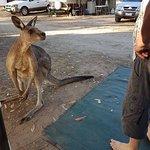 kangaroos at Pambula Beach