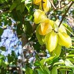 Pick a fresh starfruit in the garden