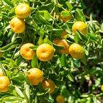 Pick a fresh tangerine in the garden
