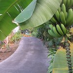 View of the driveway and growing bananas