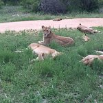 In Sabi Sands Private reserve is where Savanna is situated . The wildlife you see here is amazin