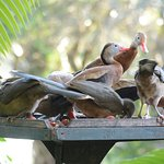Chachalaca, White-tipped Doves, and Black-bellied Whistling Ducks on a feeder outside the dining