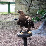 Iman the Golden Eagle