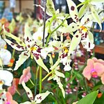Photo of R.F. Orchids