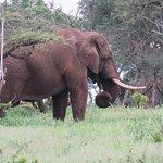 Lonely bull elephant