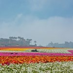 The multi-colored fields of flowers are gorgeous when in full bloom. Take time to walk the field