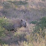 The Black rhino is smaller but more aggresive than its White cousin
