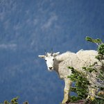 Mountain goat near overlook