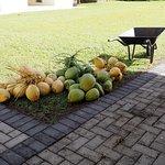 fFeshly harvested coconuts