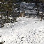 lynx along icefields hwy