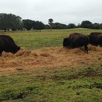 Buffalos near the rooms you can rent