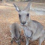 Close up Kangaroo at our cabin