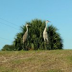 Resident Sandhill Cranes waiting for softball game to start and whoop for the home team.