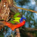 Watch for Painted Buntings