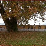 """Huge big National Tree """"CHINAR"""" by the Houseboat New Buckingham Palace."""