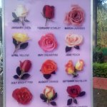 Rypes of roses at ROSE GARDEN